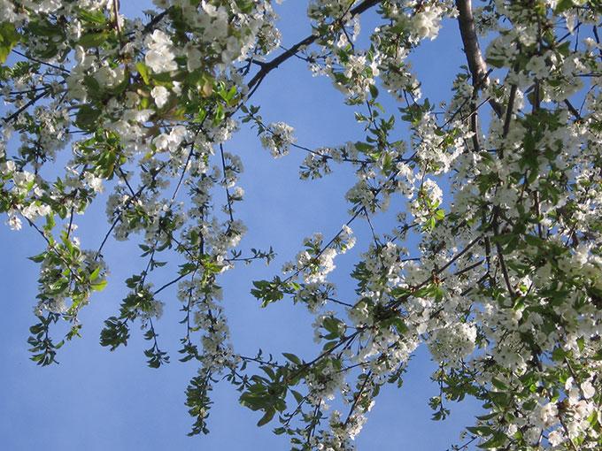 Trekking Collina Morenica, la radura dei ciliegi